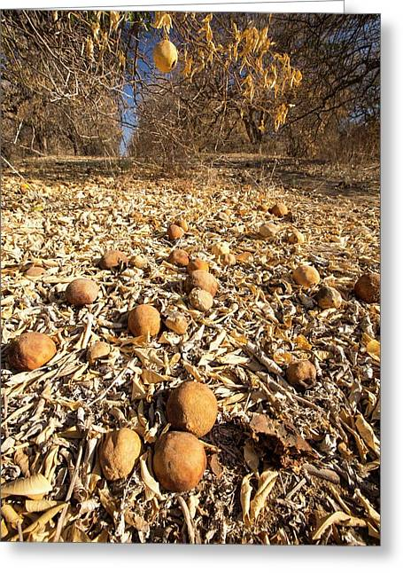 Abandoned Dead And Dying Orange Trees Greeting Card by Ashley Cooper