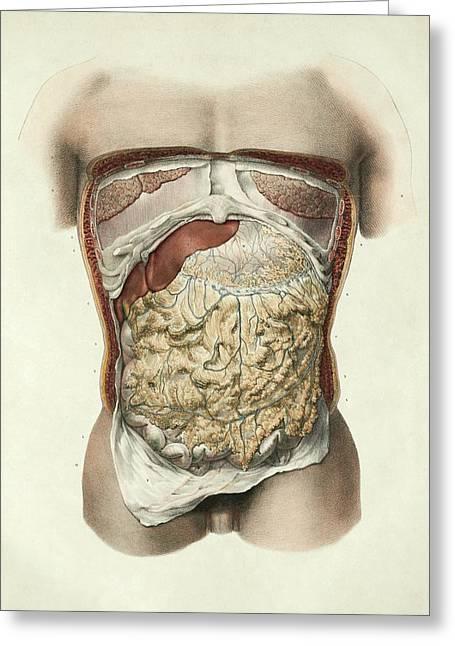 Abdominal Anatomy Greeting Card