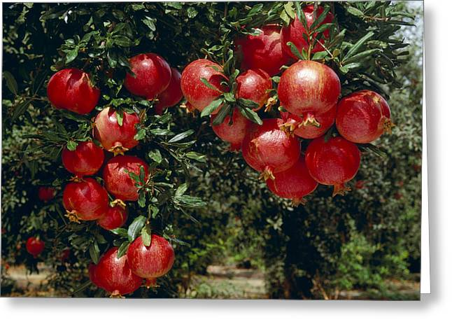 Agriculture - Mature, Harvest Ready Greeting Card by Ed Young