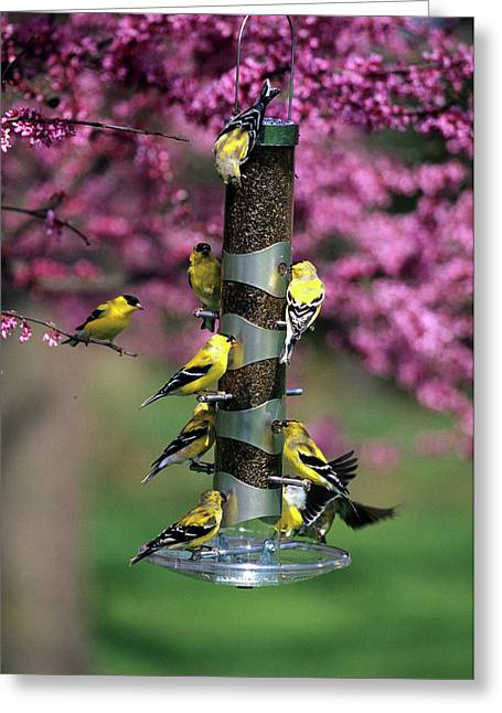 American Goldfinches (carduelis Tristis Greeting Card by Richard and Susan Day