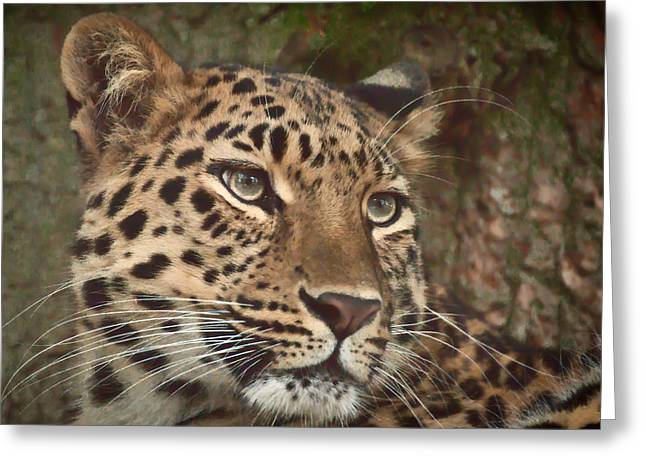 Amur Leopard Greeting Card by Chris Boulton