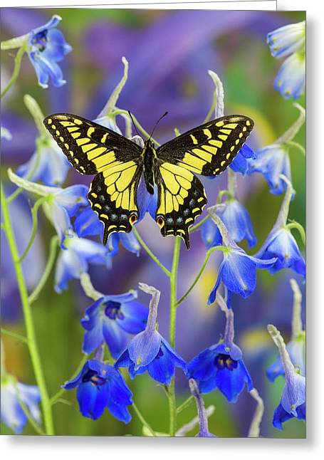 Anise Swallowtail Butterfly, Papilio Greeting Card