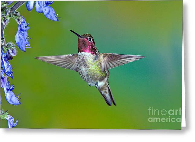 Annas Hummingbird Greeting Card by Anthony Mercieca