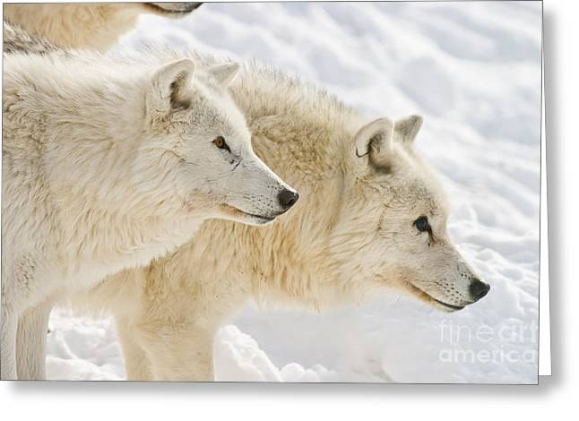 Arctic Wolves Greeting Card by Michael Cummings