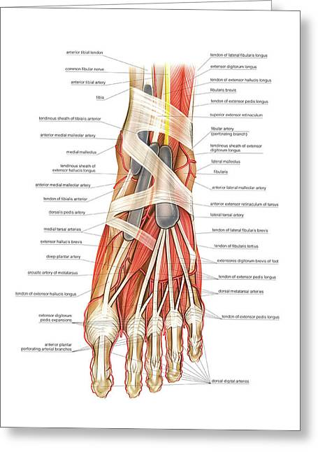 Arterial System Of The Foot Greeting Card by Asklepios Medical Atlas