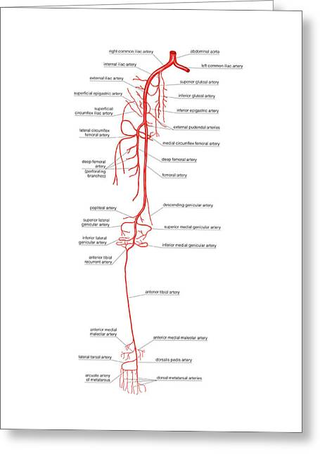 Arterial System Of The Leg Greeting Card