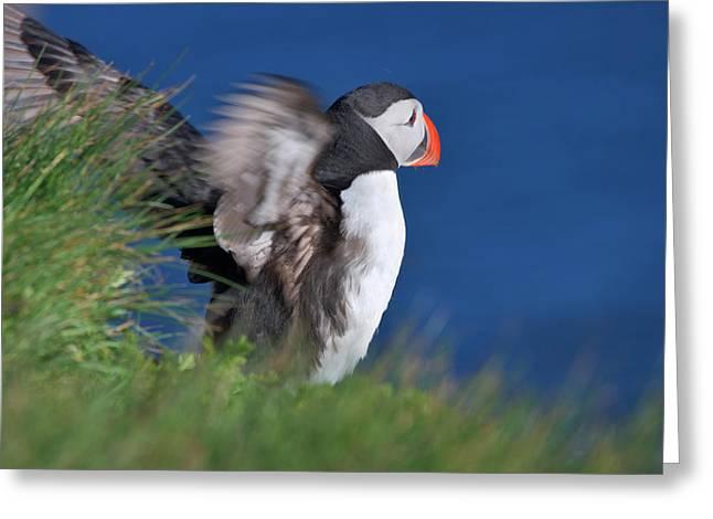 Atlantic Puffin (fratercula Arctica Greeting Card