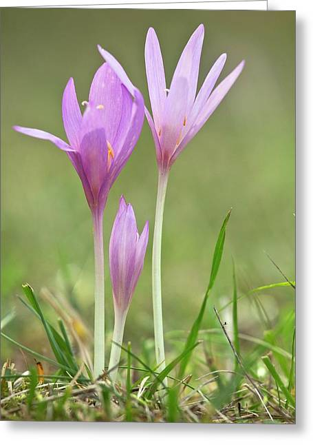 Autumn Crocus (colchicum Autumnale) Greeting Card by Bob Gibbons