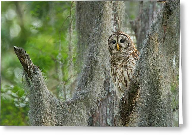 Barred Owl (strix Varia Greeting Card by Larry Ditto