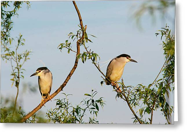 Black-crowned Night Heron (nycticorax Greeting Card by Martin Zwick