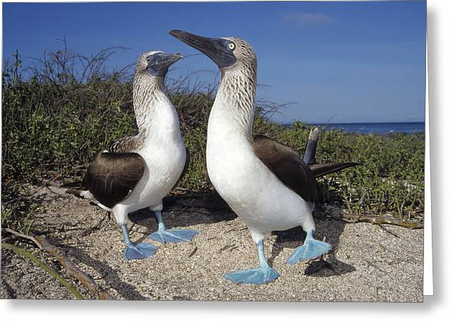 Blue-footed Boobies Courting Galapagos Greeting Card by Tui De Roy