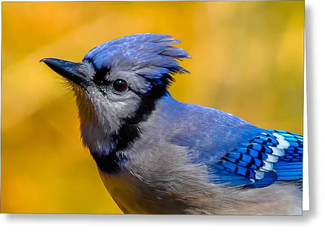 Blue Jay Greeting Card by Brian Stevens