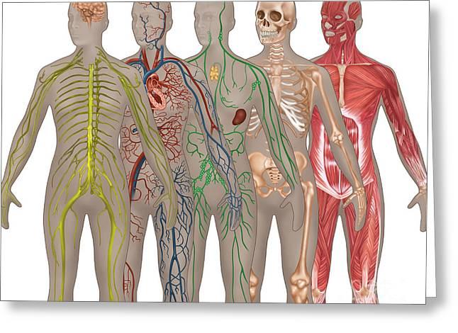 5 Body Systems In Female Anatomy Greeting Card by Gwen Shockey