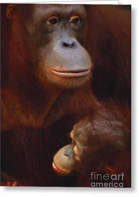 Bornean Orangutan Greeting Card by Art Wolfe