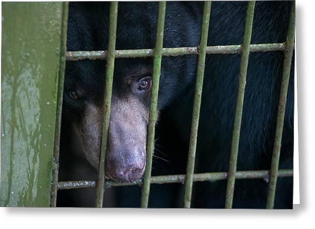 Bornean Sunbear (captive) Greeting Card