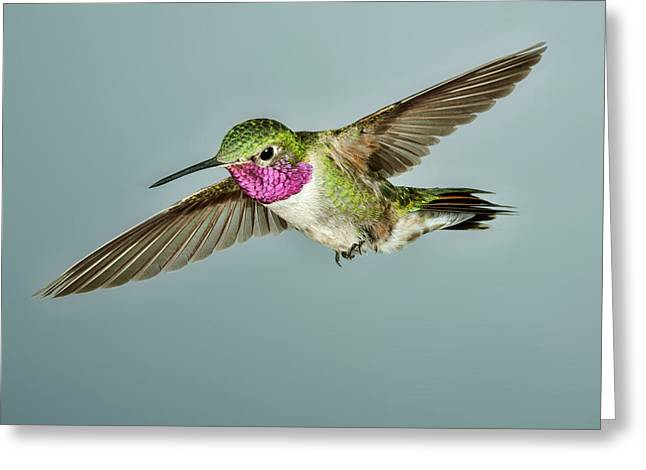 Broadtail Hummingbird Greeting Card by Gregory Scott