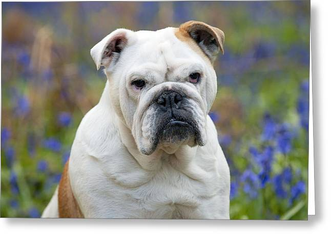 Bulldog In Bluebells Greeting Card