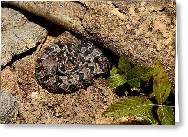 Canebrake Rattlesnake Greeting Card