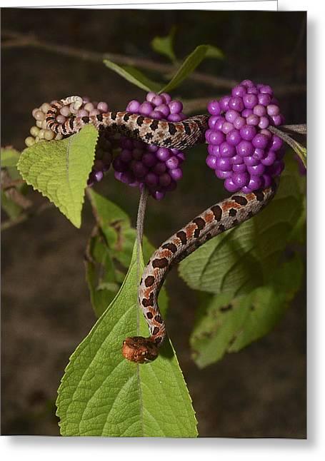 Carolina Pigmy Rattlesnake Greeting Card