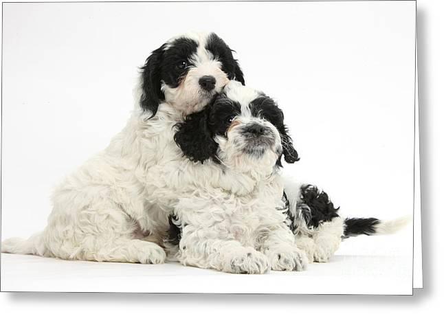 Cavapoo Puppies Greeting Card