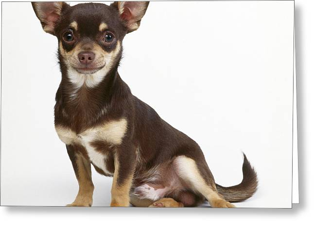 Chihuahua Dog Greeting Card by John Daniels