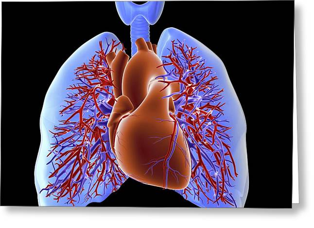 Circulatory System Of Heart And Lungs Greeting Card by Alfred Pasieka