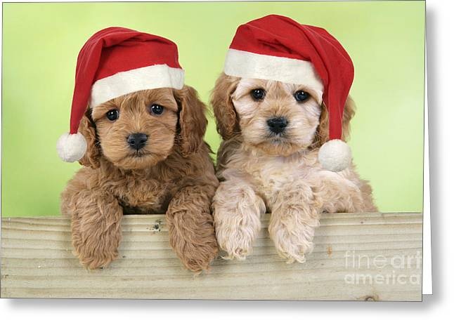 Cockapoo Puppy Dogs Greeting Card by John Daniels