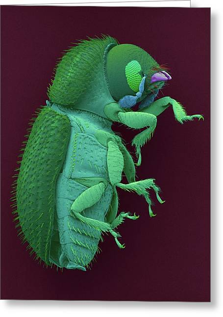 Coffee Berry Borer Greeting Card by Dennis Kunkel Microscopy/science Photo Library
