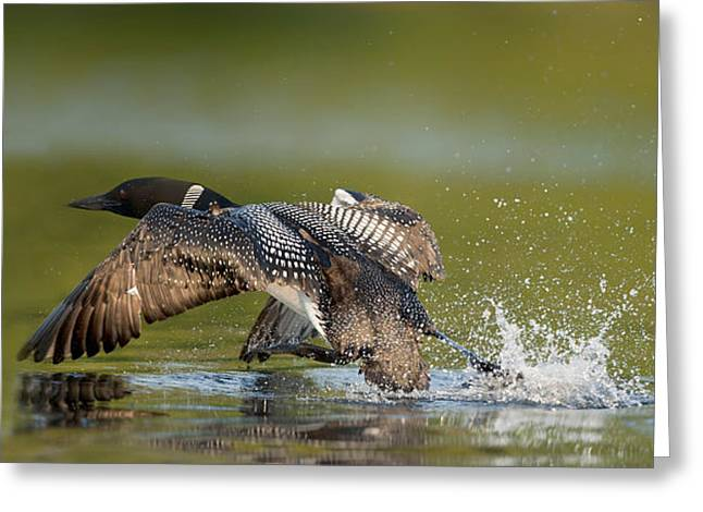 Common Loon Greeting Card by Loon  Images
