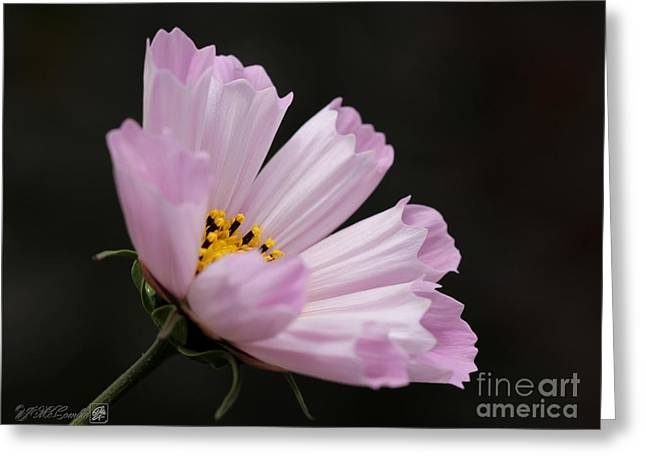 Cosmos Named Sea Shells Pink Greeting Card by J McCombie