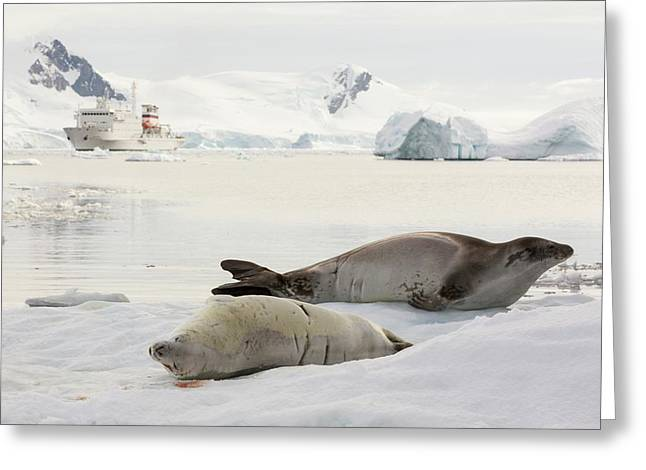 Crabeater Seal Greeting Card