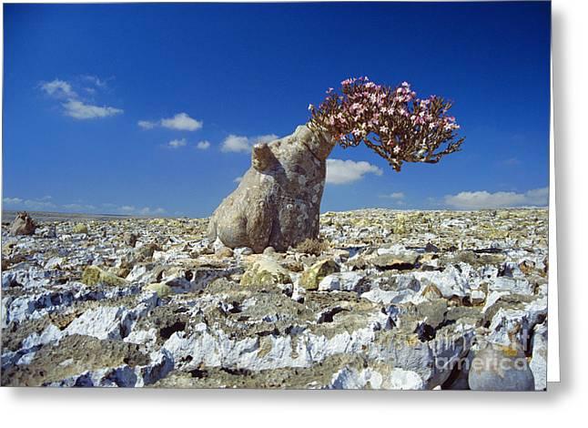 Desert Rose Tree Greeting Card by Diccon Alexander
