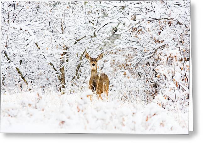 Doe Mule Deer In Snow Greeting Card