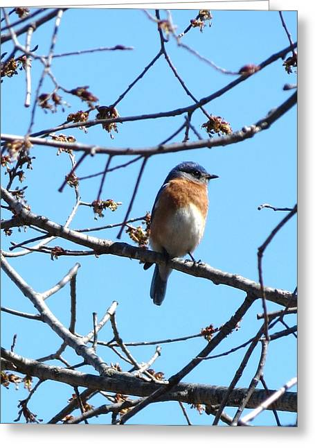 Eastern Bluebird Greeting Card by Rebecca Overton