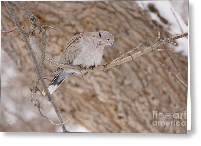 Euarsian Collard Dove Greeting Card by Lori Tordsen