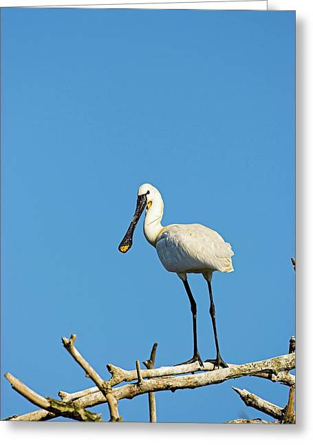 Eurasian Spoonbill Or Common Spoonbill Greeting Card