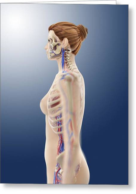 Female Anatomy, Artwork Greeting Card by Science Photo Library