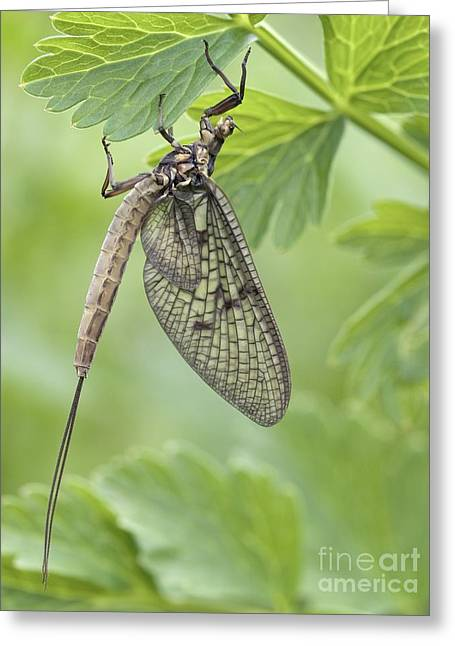 Female Mayfly Greeting Card