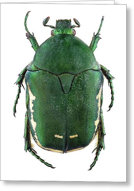 Flower Chafer Greeting Card by F. Martinez Clavel