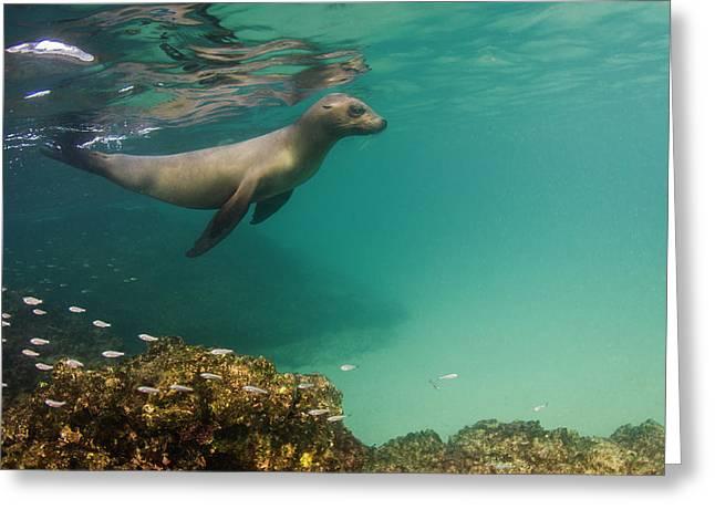 Galapagos Sea Lion (zalophus Wollebaeki Greeting Card