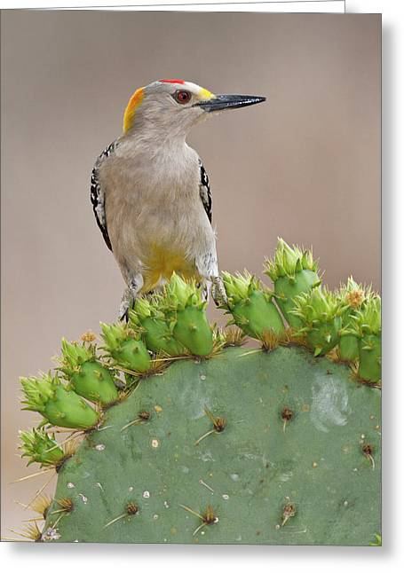 Golden-fronted Woodpecker (melanerpes Greeting Card