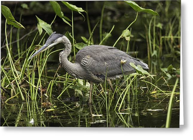 Great Blue Heron Fishing Greeting Card