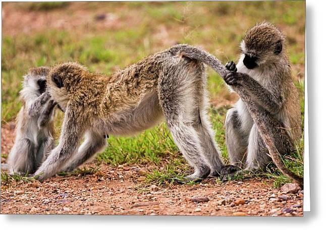 Grivet Monkey Chlorocebus Aethiops Greeting Card by Photostock-israel