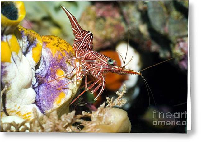 Hingebeak Shrimp On A Seasquirt Greeting Card