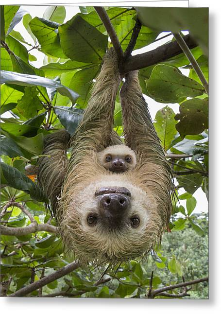 Hoffmanns Two-toed Sloth And Old Baby Greeting Card