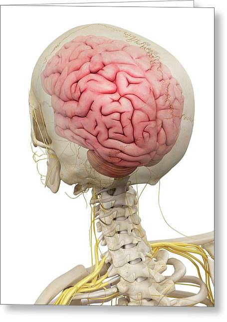 Human Brain And Nerves Greeting Card by Sciepro
