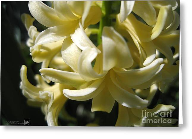 Mccombie Greeting Cards - Hyacinth named City of Haarlem Greeting Card by J McCombie