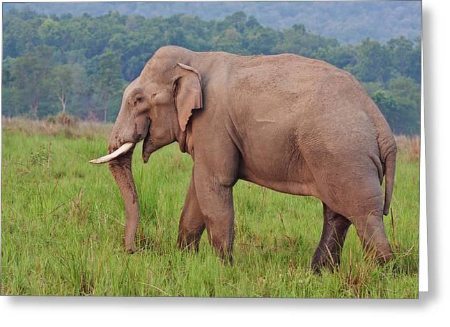 Indian Asian Elephant (tusker Greeting Card by Jagdeep Rajput