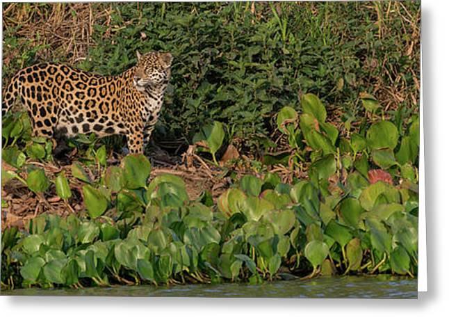 Jaguar Panthera Onca Walking Greeting Card by Panoramic Images