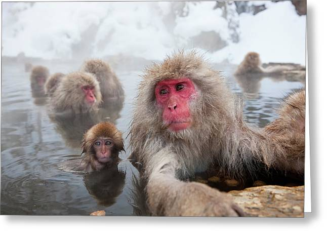 Japanese Macaque (macaca Fuscata Greeting Card by Peter Adams